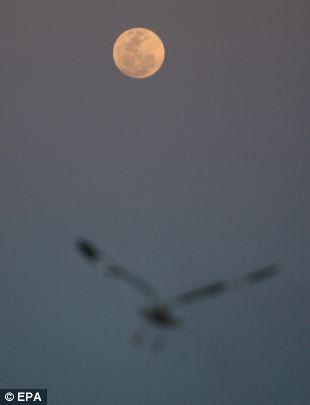 A seagull flies in front of a full perigee moon in Yangon, Myanmar