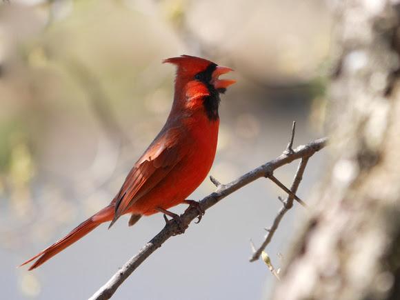Ed Gaillard: birds &emdash; Cardinal singing, Central Park