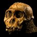 The skull of a juvenile male Australopithecus sediba.