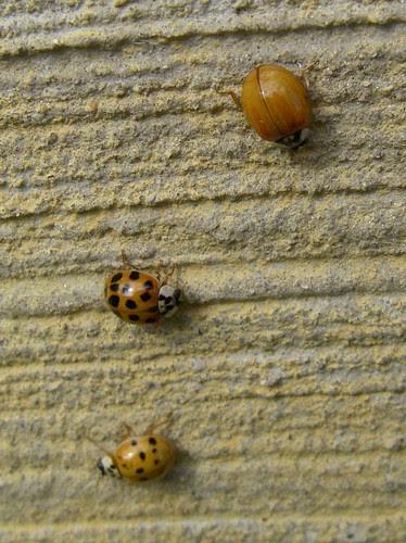 Ladybug 7