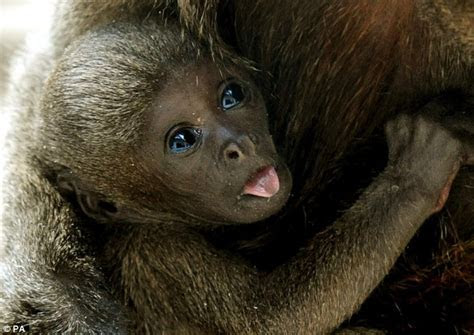 Cheeky monkey: Baby primate strikes a pose as he makes his public debut   Daily Mail Online