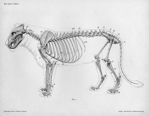 lion - lateral skeleton