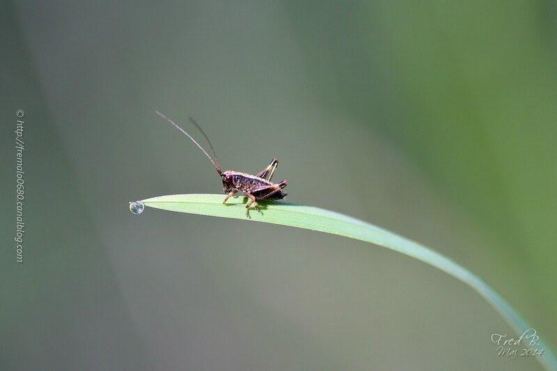 Pholidoptera griseoaptera ?