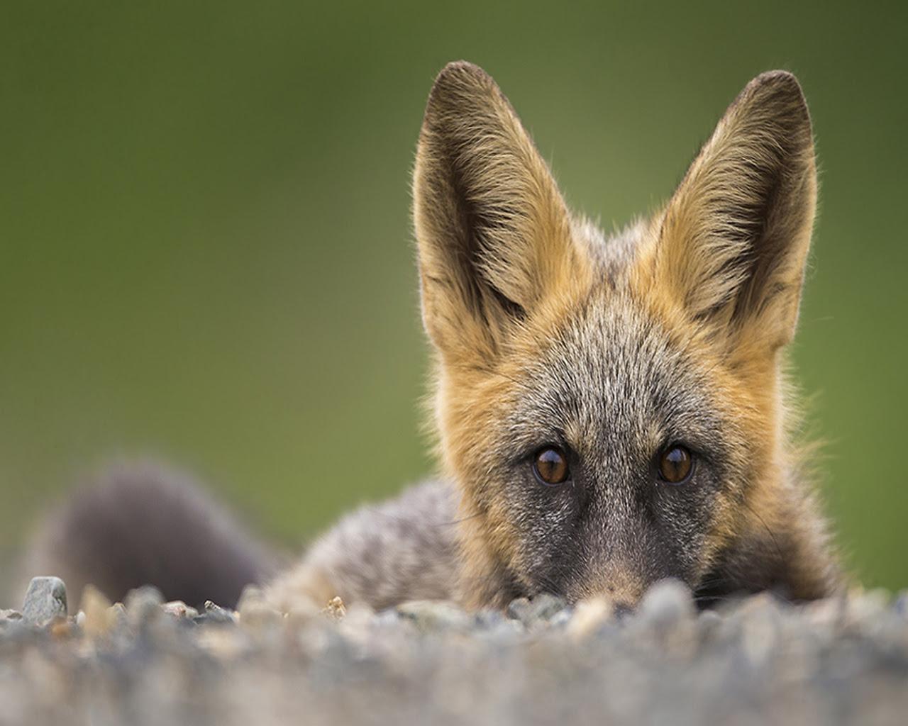 Peek-a-Boo Fox [1280x1024]