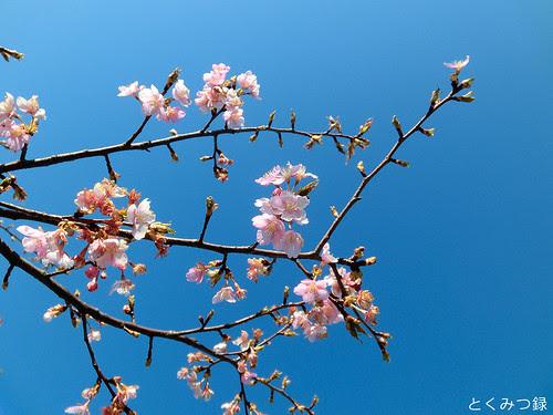2011年3月13日、桜