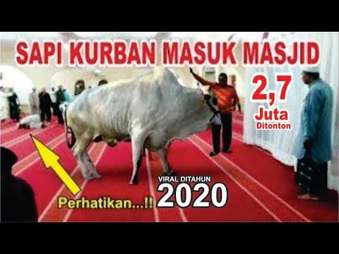 Download 770 Gambar Lucu Qurban Sapi Paling Lucu