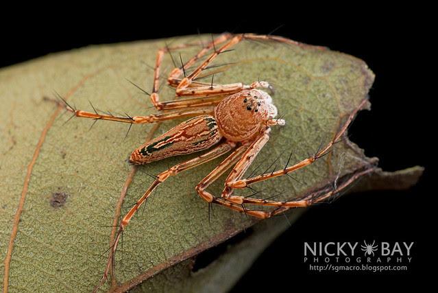Lynx Spider (Oxyopidae) - DSC_1963
