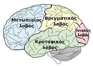 Principal fissures and lobes of the cerebrum v...