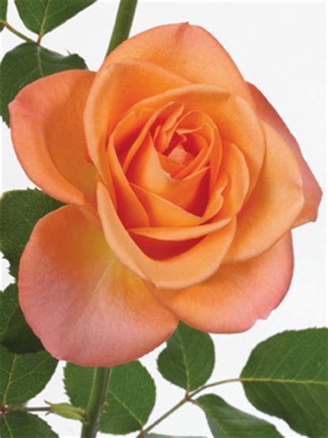 Rose Orange Tropical Amazon   uBloom