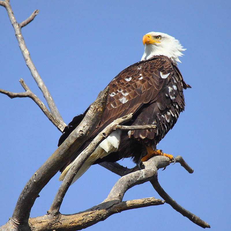 IMG_6475 Bald Eagle, Sacramento National Wildlife Refuge