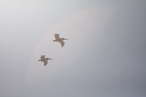 Pelicans in Sun