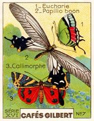gilbertpapillons010