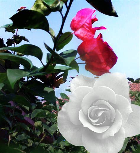 bunga mawar kaligrafi nusantara