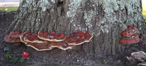Reishi mushrooms grace the base of a tree.