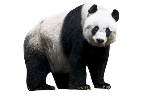 panda png images