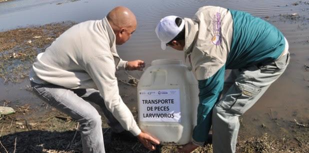 colocación de peces larvívoros