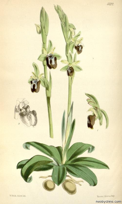 Офрис мухоносная в атласе орхидей