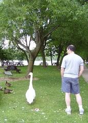 stratford swans 049