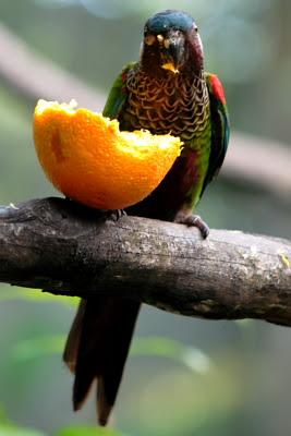 Parrot eating orange