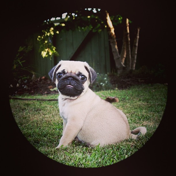 The newest member of our family - Ollie #puppy #dog #pug
