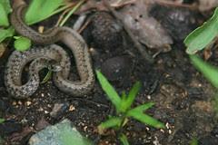 snake and acorns