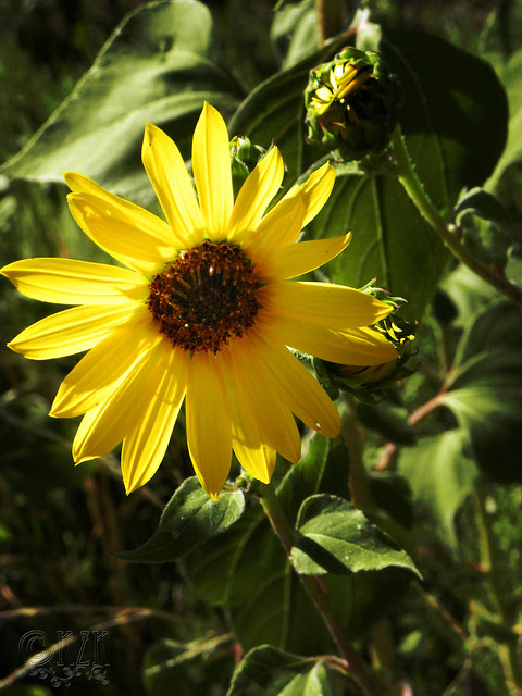 DSCN4341 Sunflower