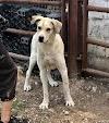 Leyma – 3 year old female Spanish Mastin Cross