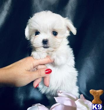 Kc Registered Small Maltese puppy for sale 50435
