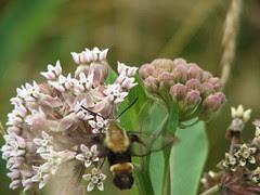 Clearwing moth on milkweed