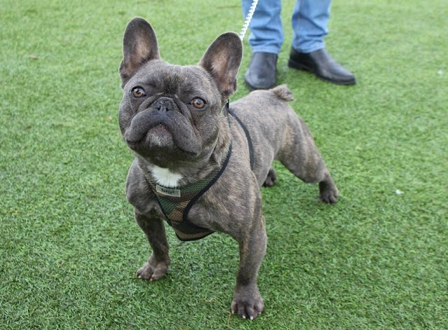 Ozzy – 1 year old male French Bulldog