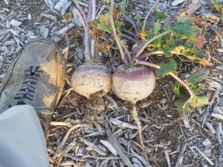 2014 September Turnips