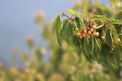cherry-branch