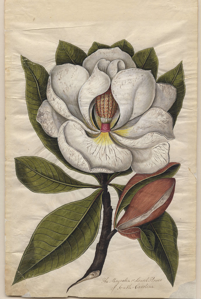 Magnolia or Laurel-Flower