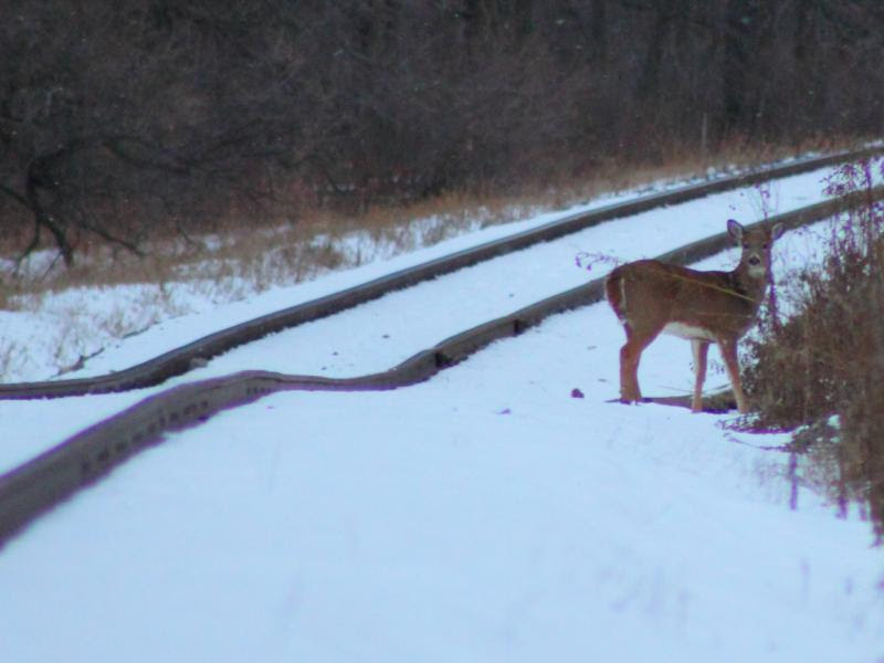 Deer and Tracks in St. Norbert Manitoba