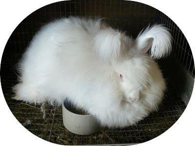 White German Angora rabbit wool Angora rabbit raw fiber white 1 ounce
