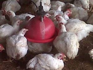 remedios caseros para la peste de las gallinas