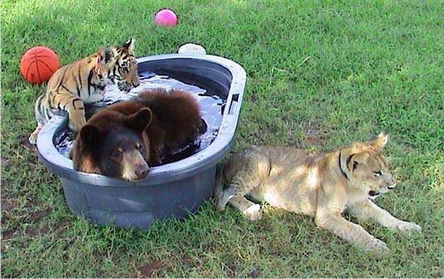 bear-tiger-lion-pool