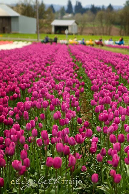 Tulips13W