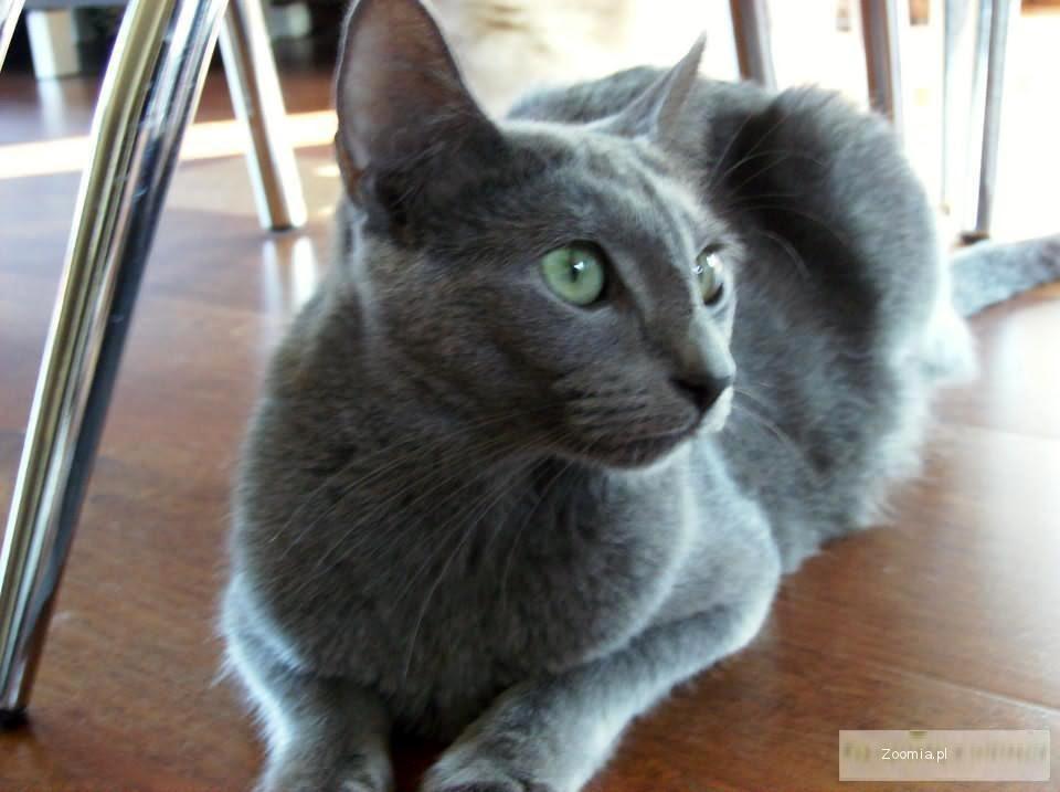 Kot Niebieski Cena