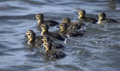 Orillia - Baby Ducklings in the water at Couchiching Beach
