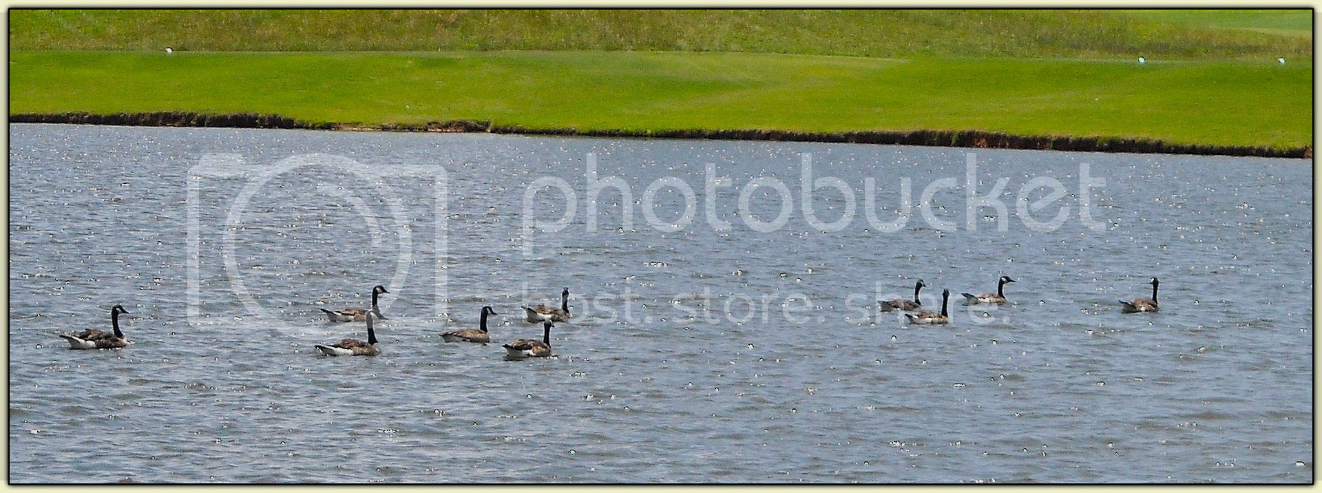 Golfy Geese