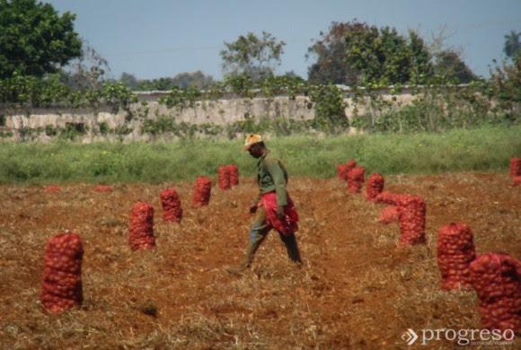 Cuando se acerca el momento de la cosecha, se disponen postas de vigilancia por los alrededores.