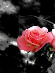 rose,111105