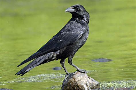 crow reddish vale country park