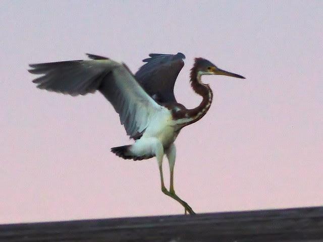 Tricolored Heron landing 02-20131020
