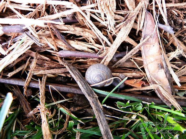 DSCN3977 Garden Snail
