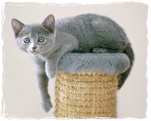 Russian Blue kitten at the top by cats_in_blue