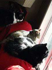 Three cats on squirrel patrol