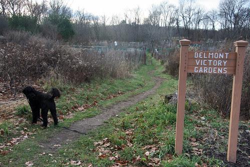 november at belmont victory gardens