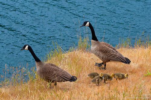 Family of Canada Geese, Smallpox Bay, San Juan Island, Washington